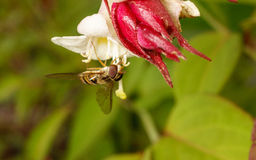 Hoverfly na kwiacie Fotografia Royalty Free