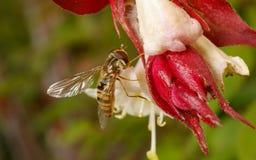 Hoverfly na kwiacie Obrazy Royalty Free