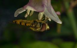 Hoverfly na kwiacie Zdjęcia Stock