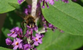 Hoverfly na kwiacie Zdjęcie Royalty Free
