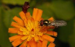 Hoverfly na kwiacie Obraz Royalty Free
