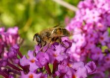 Hoverfly na kwiacie Zdjęcie Stock