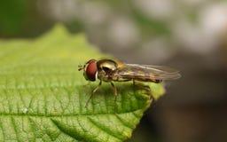 Hoverfly na liściu Obrazy Royalty Free
