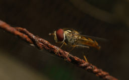Hoverfly na ośniedziałym drucie Obraz Stock