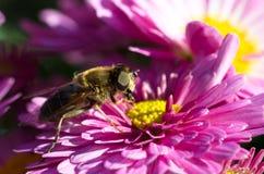 Hoverfly na różowej chryzantemie Zdjęcie Royalty Free