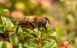 Hoverfly na roślinie z swój jęzorem out Zdjęcia Stock