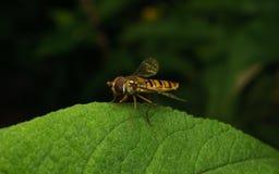 Hoverfly na roślinie Obrazy Stock