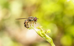 Hoverfly na roślinie Obraz Stock