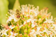 Hoverfly on Nanny Berry stock photos