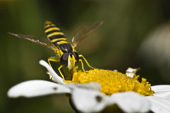 Hoverfly with nectar Royalty Free Stock Images
