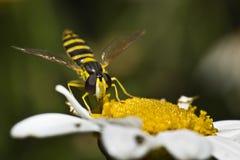 hoverfly nectar Royaltyfria Bilder