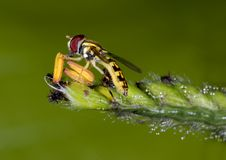 Hoverfly no pólen da grama Fotografia de Stock Royalty Free