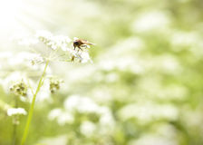 Hoverfly o abeja que se sienta en una flor blanca de la primavera Foto de archivo