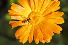 Hoverfly, o mosca dello syrphid sul fiore della calendula immagine stock libera da diritti