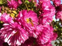 Hoverfly och rosa krysantemumblommor arkivfoto