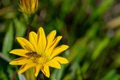 Hoverfly också som är bekant som en blommafluga eller syrphid, flyger och att samla nektarpollen från en gul blomma royaltyfria foton