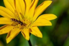 Hoverfly också som är bekant som en blommafluga eller syrphid, flyger och att samla nektarpollen från en gul blomma arkivbild