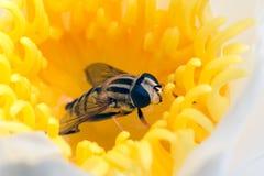 Hoverfly ocultado en flor amarilla waterlily Foto de archivo libre de regalías