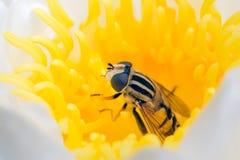 Hoverfly ocultado en flor amarilla waterlily Fotografía de archivo libre de regalías