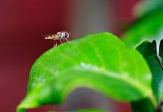 Hoverfly odpoczywa na wibrującym zielonym liściu Zdjęcie Stock