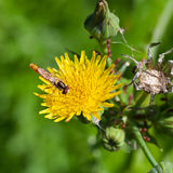Hoverfly On Yellow Flower Close Up Stock Photography