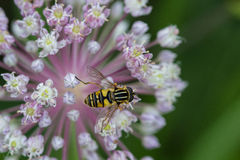 Hoverfly on onion flower Royalty Free Stock Image