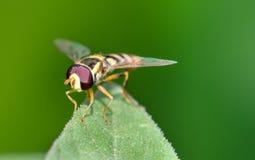 Hoverfly op blad Stock Afbeeldingen