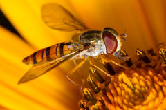Hoverfly op de bloem Stock Foto