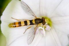 Hoverfly op een bloem Royalty-vrije Stock Foto's