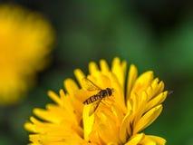 Hoverfly op een gele bloem Stock Afbeeldingen