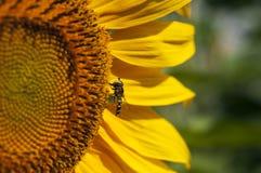 Hoverfly op reuzezonnebloem in volledige bloei royalty-vrije stock afbeeldingen