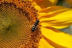 Hoverfly op reuzezonnebloem in volledige bloei stock foto