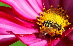 Free Hoverfly Or Flowerfly Syrphidae Royalty Free Stock Photo - 190949585