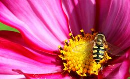 Free Hoverfly Or Flowerfly Syrphidae Stock Photo - 190949590