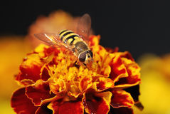 Hoverfly on a orange blossom Stock Photo