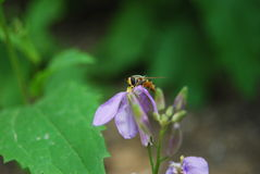 Hoverfly on orychopragmus. Melangyna viridiceps and flowers and green background stock photo