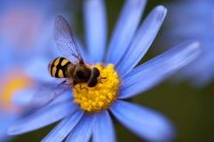 Hoverfly på blå tusensköna Arkivfoton