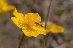 Hoverfly på en ljus gul blomma Royaltyfri Foto