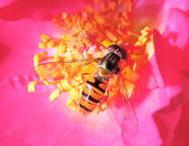 Hoverfly på en rosa färgros arkivfoton