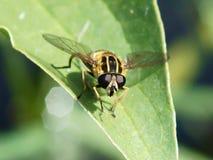 Hoverfly på ett grönt blad Arkivfoton