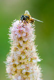 Hoverfly on pale pink flowers Stock Photography