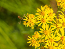 Hoverfly on a patch of wild yellow flowers Royalty Free Stock Images