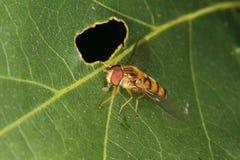 Hoverfly (pendulus de Helophilus) Imagem de Stock