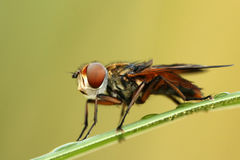 Hoverfly Phasia hemiptera Royalty Free Stock Images