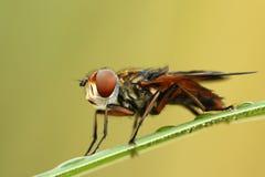Hoverfly Phasia hemiptera. Close-up of hoverfly Phasia hemiptera royalty free stock images