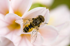 Hoverfly Royalty Free Stock Image