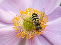 Hoverfly on a pink flower