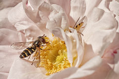 Hoverfly on Pink Rose Stock Photo