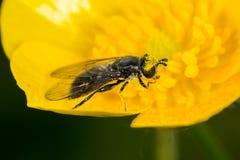 Hoverfly (Pipiza SP etwas körniges) Lizenzfreies Stockfoto