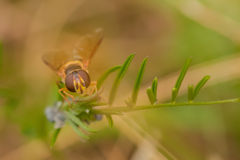 Hoverfly on Plant Stem Stock Image